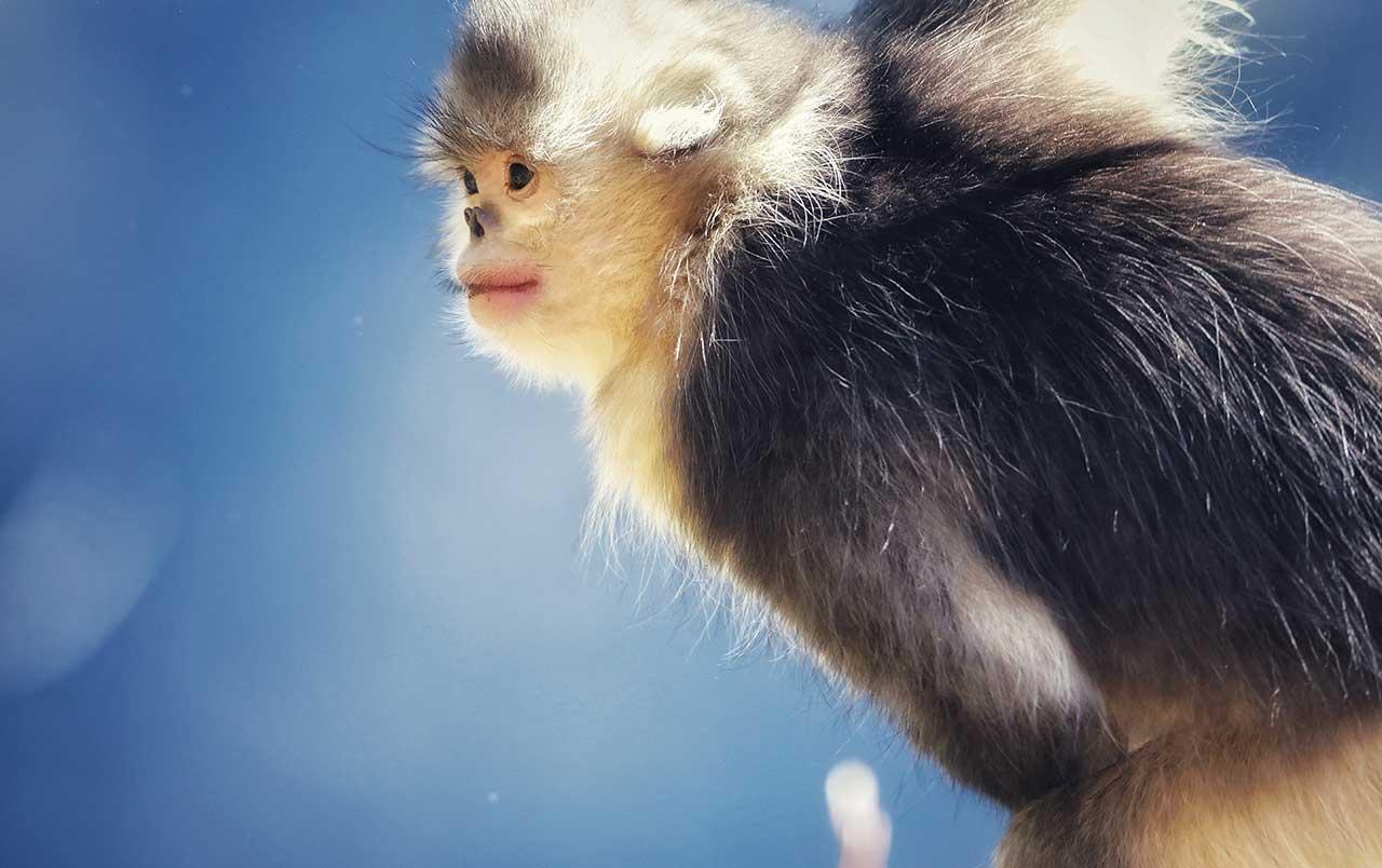 神秘的金丝猴